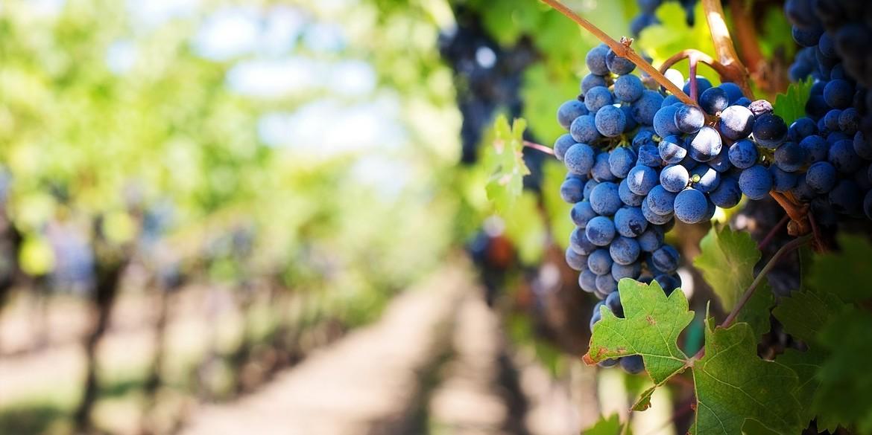 Tintilia, vitigno autoctono del Molise