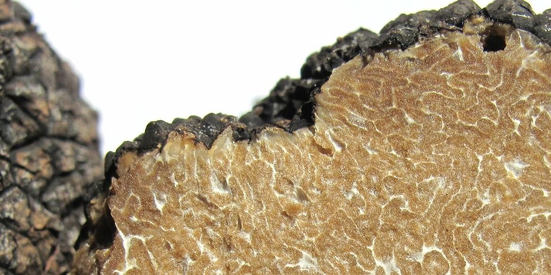 Il tartufo, le specie commestibili
